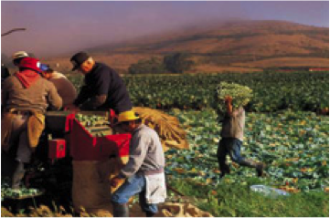 Photo of farmworkers in the field harvesting crops